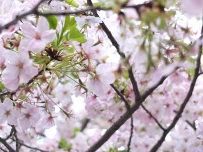 DAY OFF:桜_a0180681_23454669.jpg