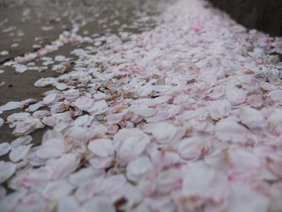DAY OFF:桜_a0180681_2345564.jpg