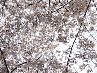 DAY OFF:桜_a0180681_23504073.jpg