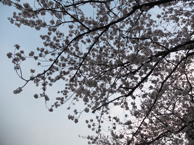 DAY OFF:桜_a0180681_23552465.jpg