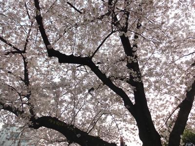 DAY OFF:桜_a0180681_2355426.jpg