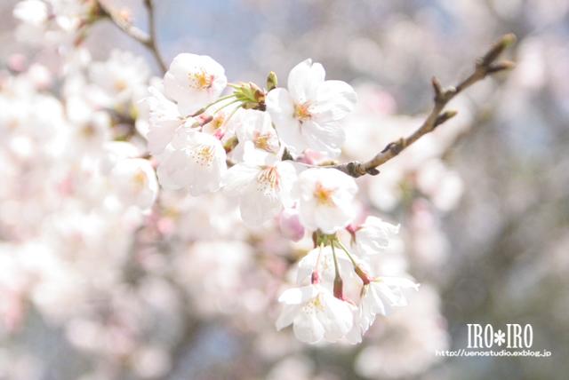 桜前線_e0199585_13441641.jpg