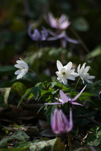 清水山憩いの森のカタクリ。_f0030085_21333123.jpg