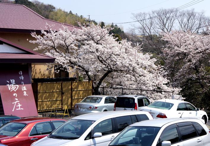 桜満開次々と_b0145296_773852.jpg