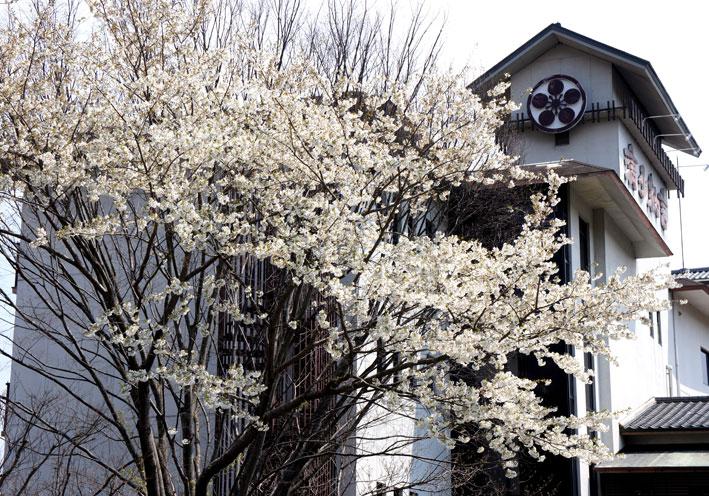 桜満開次々と_b0145296_775033.jpg