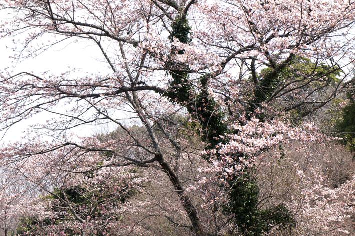 桜満開次々と_b0145296_78265.jpg