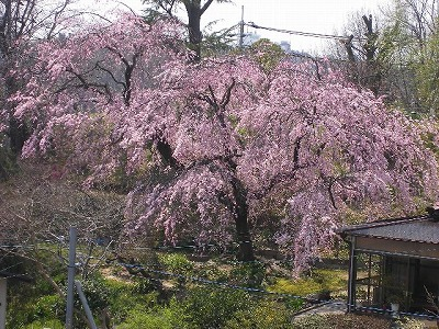 桜はまだかいな~そして満開_f0117399_21495180.jpg
