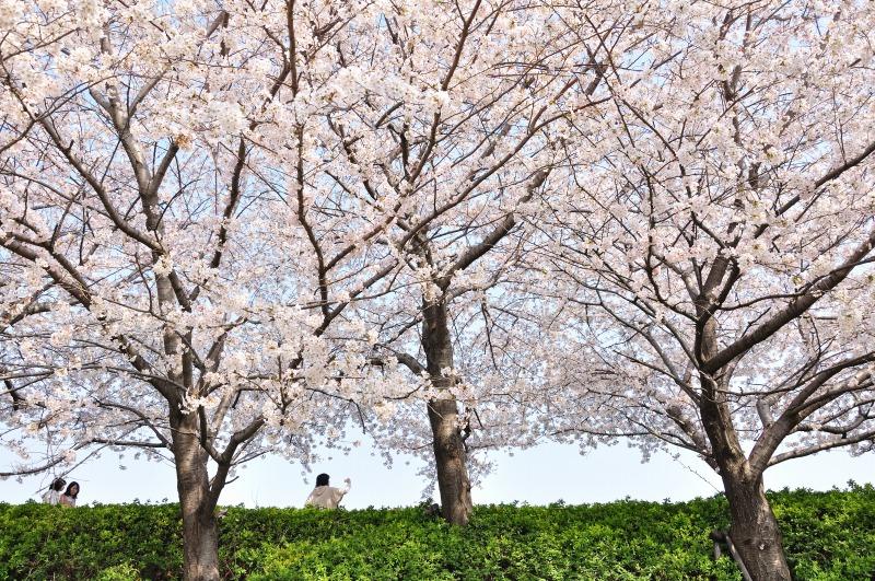 桜の木の下で vol.3_e0184300_2235239.jpg