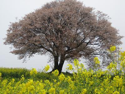 とっておきの桜_f0040201_1955931.jpg