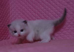 ラグドール バイカラー・ミテッド 子猫ちゃん家族募集_e0033609_1927028.jpg