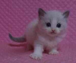 ラグドール バイカラー・ミテッド 子猫ちゃん家族募集_e0033609_19305737.jpg
