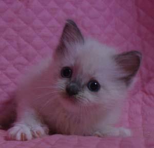 ラグドール バイカラー・ミテッド 子猫ちゃん家族募集_e0033609_19341762.jpg