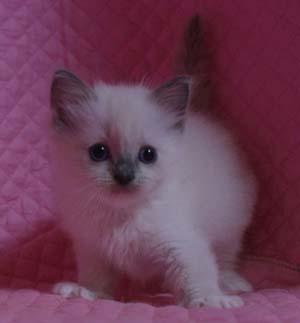 ラグドール バイカラー・ミテッド 子猫ちゃん家族募集_e0033609_19342248.jpg