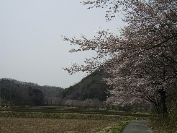 町の桜 ファースト・シーズン_c0141013_14131756.jpg