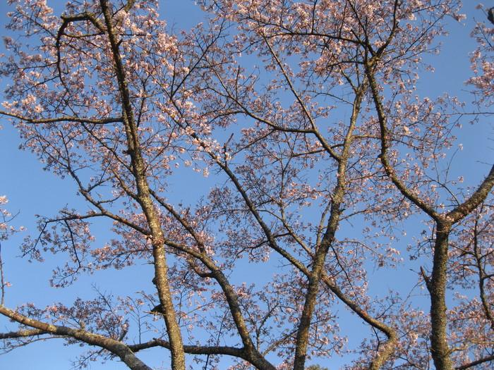 桜の下で~♪_a0125419_2373766.jpg