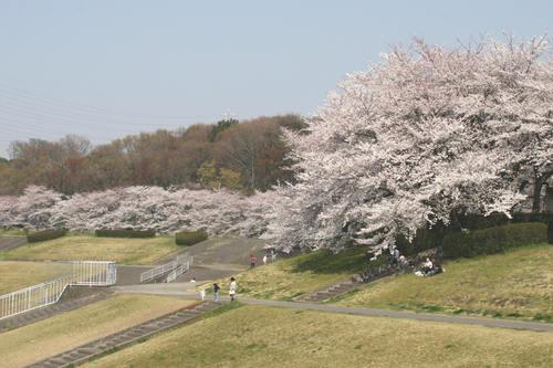 「さくら・桜・サクラ」 の風景_d0150720_930915.jpg
