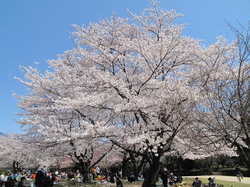 「さくら・桜・サクラ」 の風景_d0150720_9334361.jpg