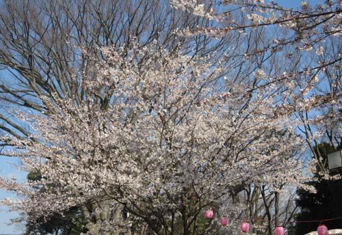 桜だ!!城(ジョー)!!_f0129627_14151995.jpg