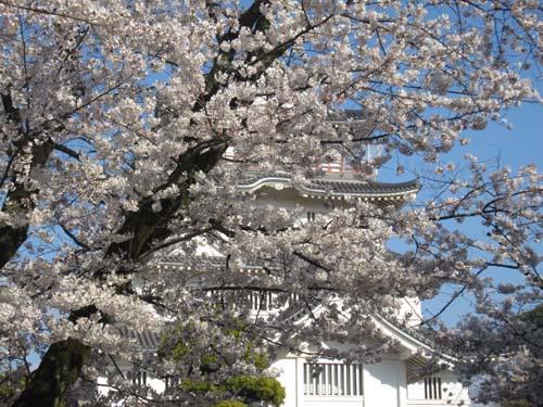 桜だ!!城(ジョー)!!_f0129627_1430632.jpg