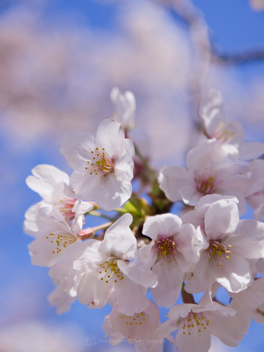 桜。(現実逃避中...。)_e0096928_054627.jpg