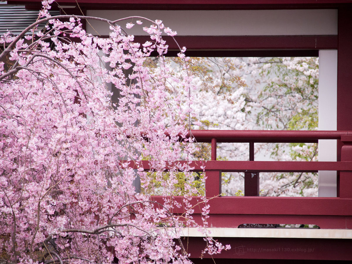 桜。(現実逃避中...。)_e0096928_05513100.jpg