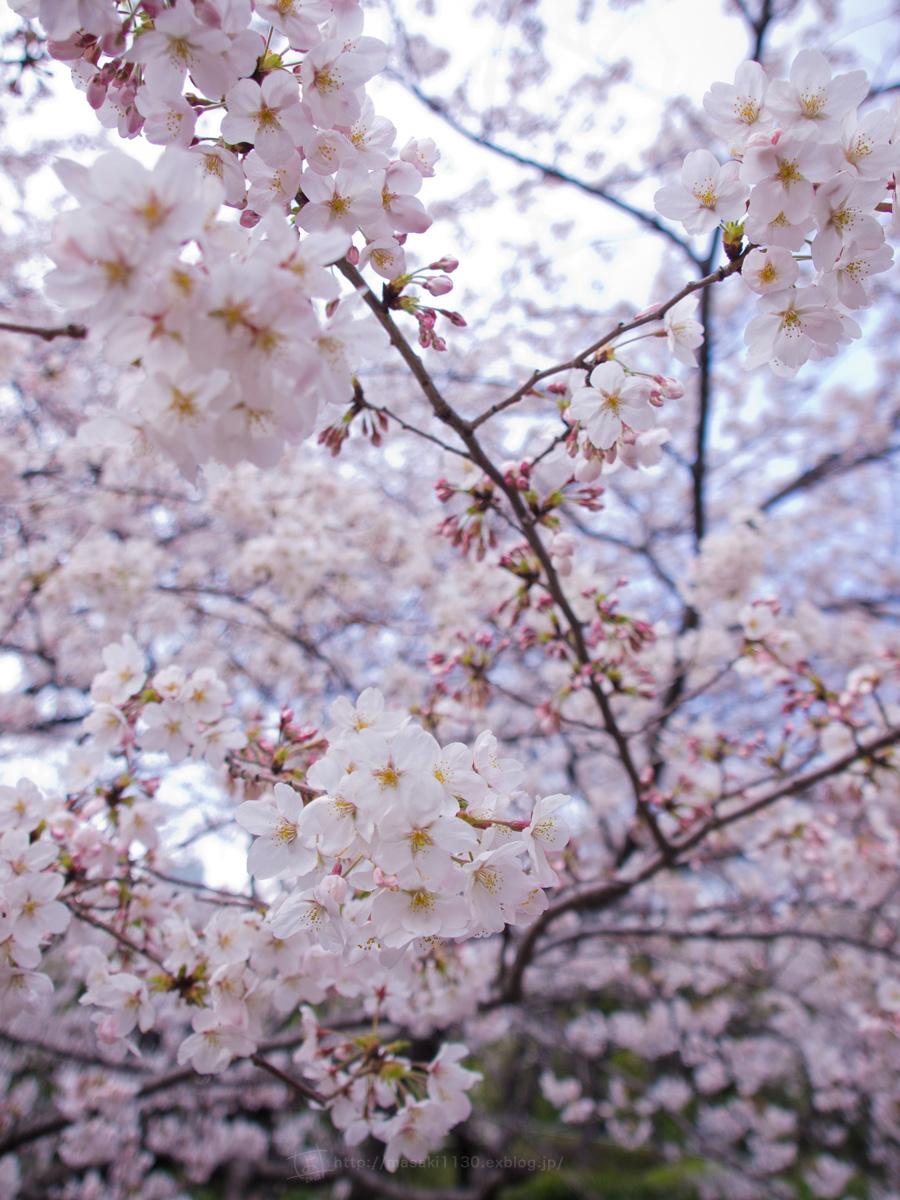 桜。(現実逃避中...。)_e0096928_055447.jpg