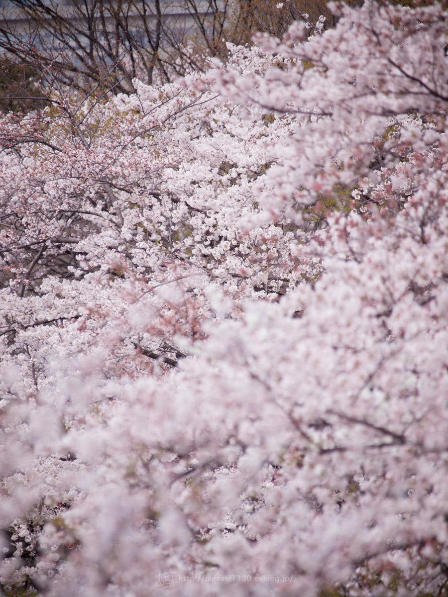 桜。(現実逃避中...。)_e0096928_055499.jpg