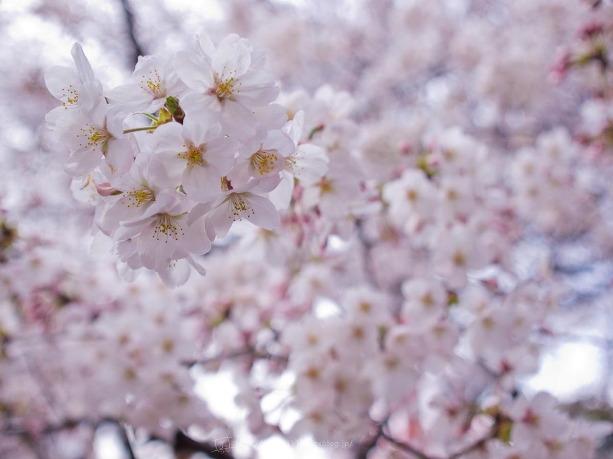 桜。(現実逃避中...。)_e0096928_05609.jpg
