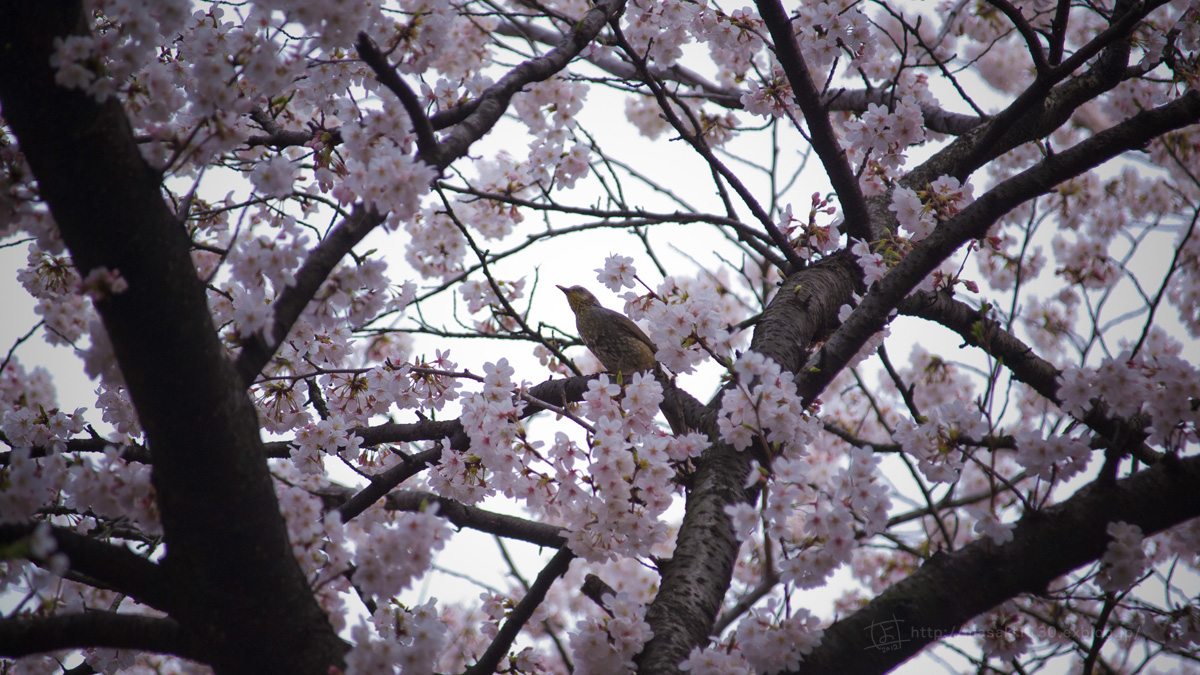 桜。(現実逃避中...。)_e0096928_0564669.jpg
