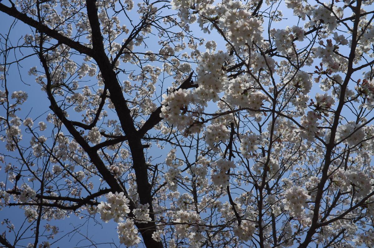桜を続ける!_b0160331_16492719.jpg