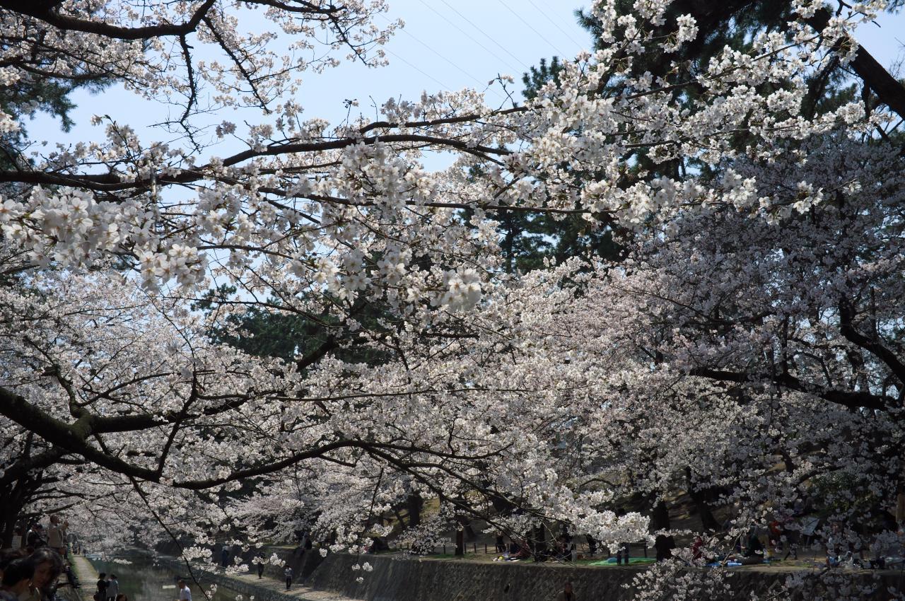 桜を続ける!_b0160331_16503828.jpg