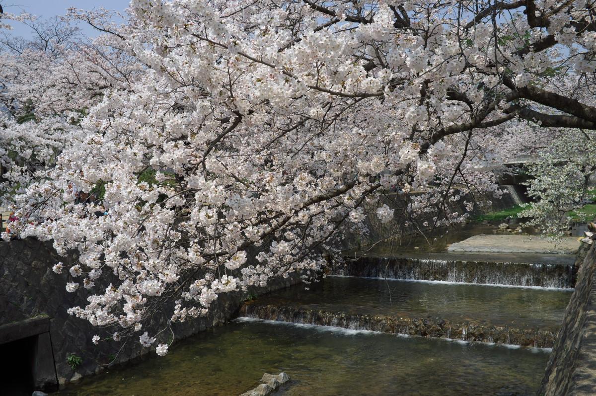 桜を続ける!_b0160331_16511046.jpg