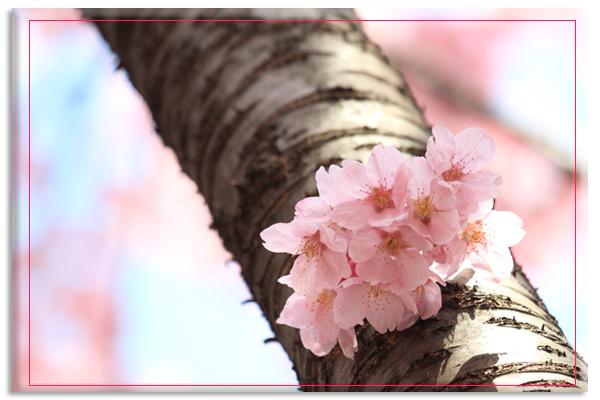 桜撮影_e0166336_1184864.jpg