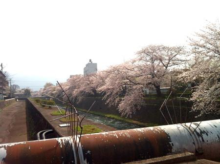 桜。_e0170538_821838.jpg