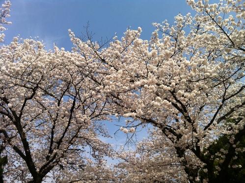 桜。_e0170538_822588.jpg