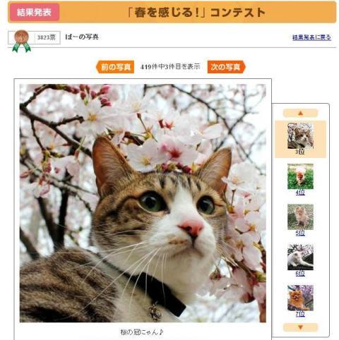 Yahoo!ペット「春を感じる!」コンテスト第3位猫 ぽー編。_a0143140_21391995.jpg