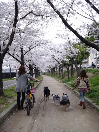 桜は、見るもの愛でるもの_e0270846_21563642.jpg