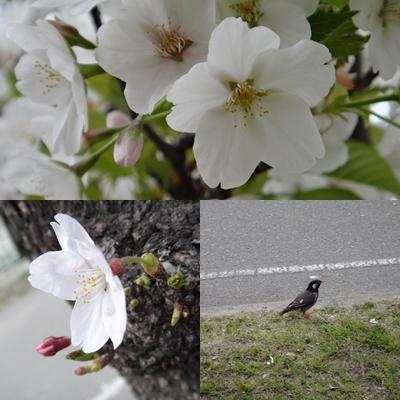 桜は、見るもの愛でるもの_e0270846_215771.jpg