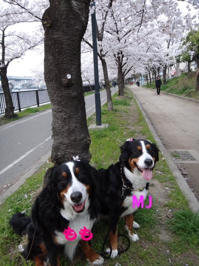 桜は、見るもの愛でるもの_e0270846_21585193.jpg