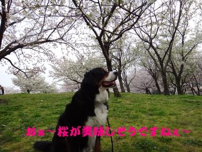 桜は、見るもの愛でるもの_e0270846_22273883.jpg