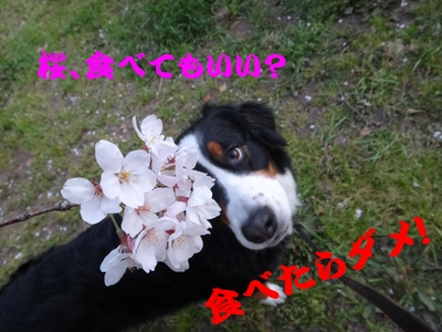 桜は、見るもの愛でるもの_e0270846_22434979.jpg