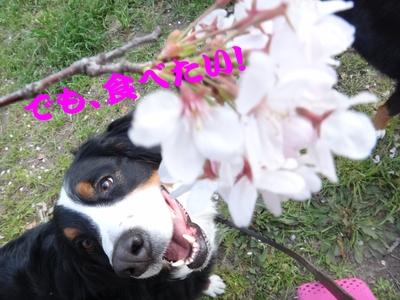 桜は、見るもの愛でるもの_e0270846_22441780.jpg