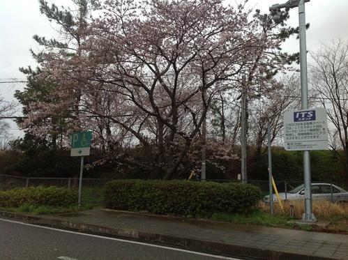 桜前線、北上中!_e0266363_2305957.jpg