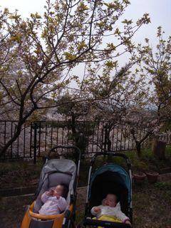 ハレ桜とアメ桜_a0168068_21263166.jpg