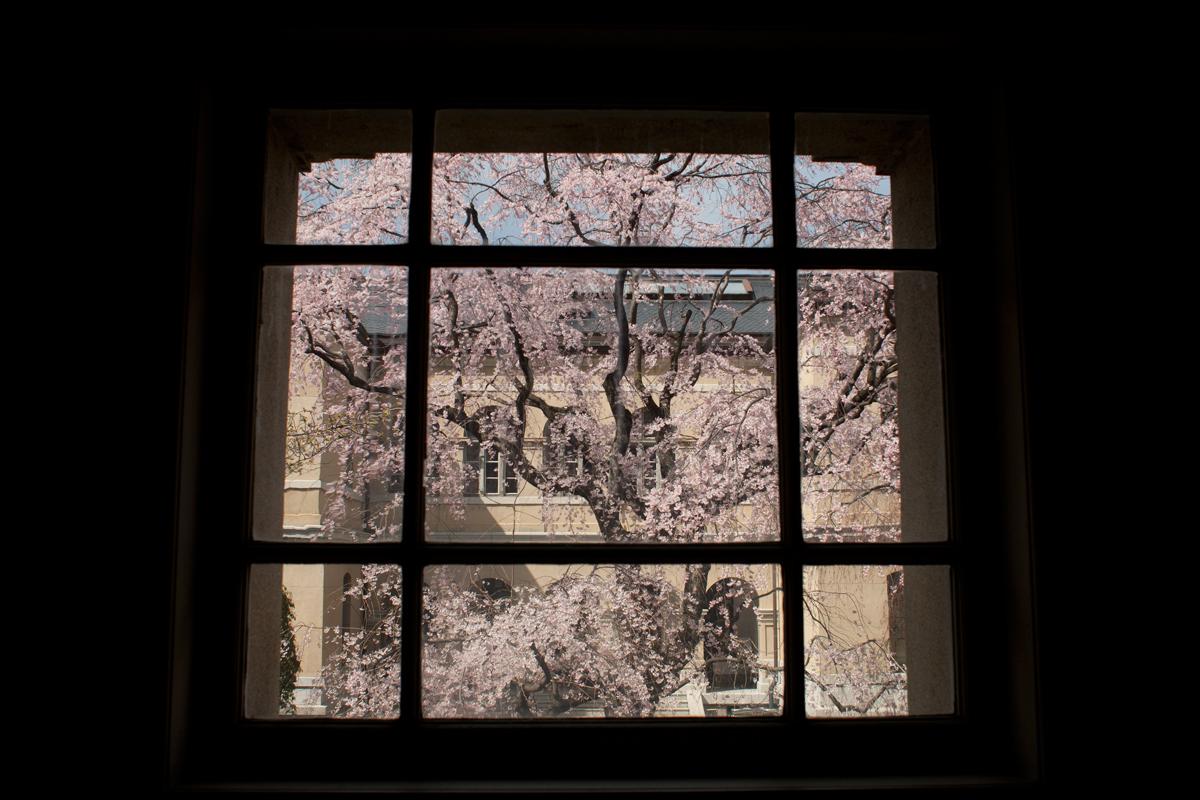 桜 2012 京都 <京都府庁>_f0021869_001561.jpg