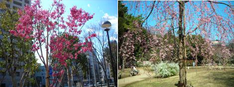 散歩を楽しく/桜の花にも種類がある_d0183174_19285954.jpg
