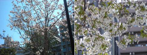 散歩を楽しく/桜の花にも種類がある_d0183174_19291071.jpg
