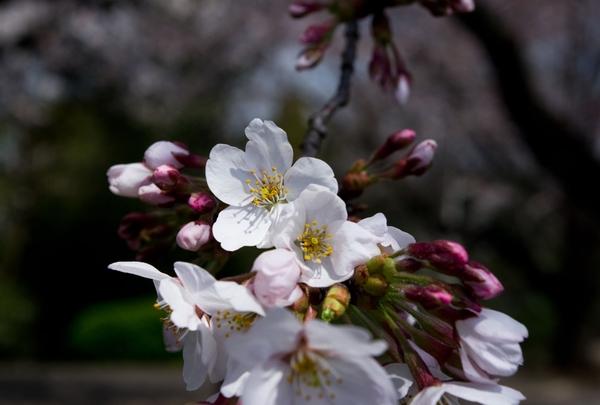桜_a0248481_09765.jpg