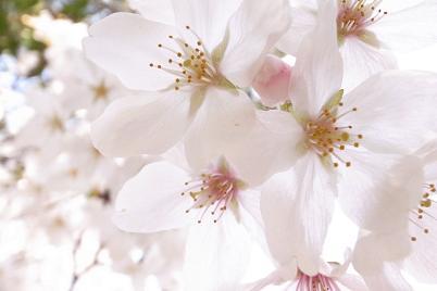 雨と桜と雄しべと雌しべ_f0202682_1525504.jpg