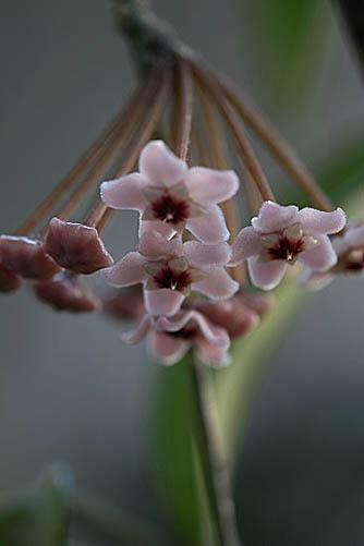 サクラランと、アメリカ桜。_f0030085_2201827.jpg